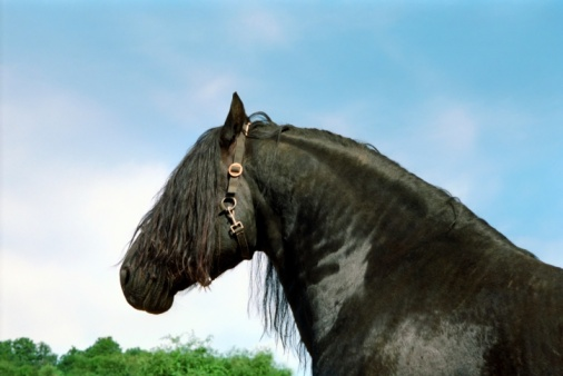 Stallion「black horse - friesian stallion portrait」:スマホ壁紙(6)