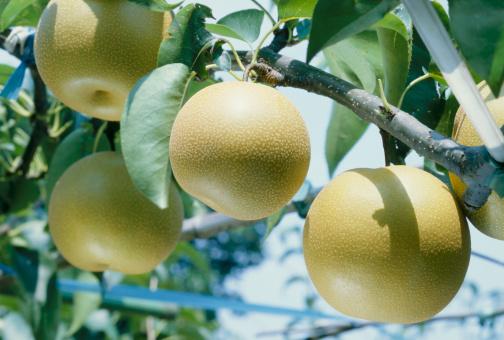 梨「Nashi pears」:スマホ壁紙(4)