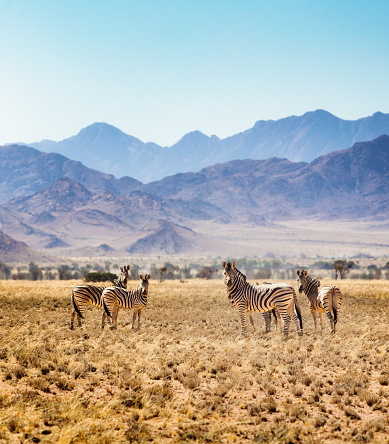 Namib-Naukluft National Park「Small group of Hartmann's zebras in Namibian steppes」:スマホ壁紙(9)