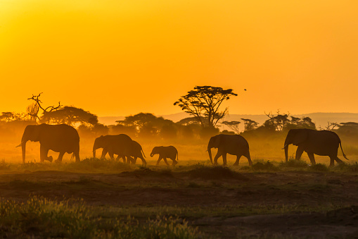 Elephant「Small group of elephants are walking at Amboseli plains at the sunrise」:スマホ壁紙(10)