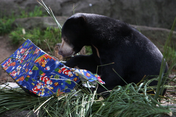 Lisa Maree Williams「Taronga Zoo Animals Recieve Christmas Gifts」:写真・画像(3)[壁紙.com]