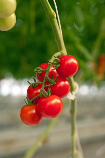Cherry Tomato「Cherry Tomatoes on Vine」:スマホ壁紙(14)