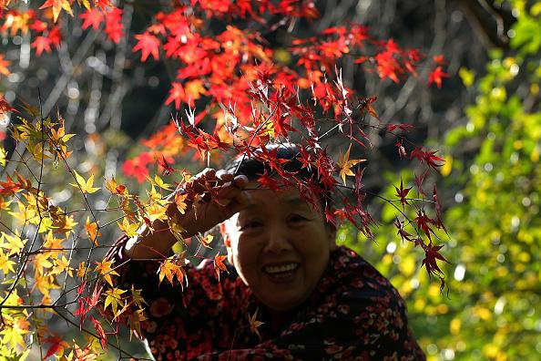 Japanese Maple「Elderlies Run Decorative Foliage Business In Rural Japan」:写真・画像(18)[壁紙.com]