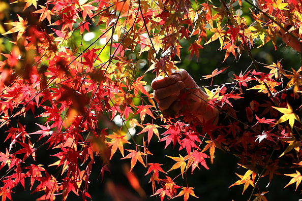 Japanese Maple「Elderlies Run Decorative Foliage Business In Rural Japan」:写真・画像(16)[壁紙.com]