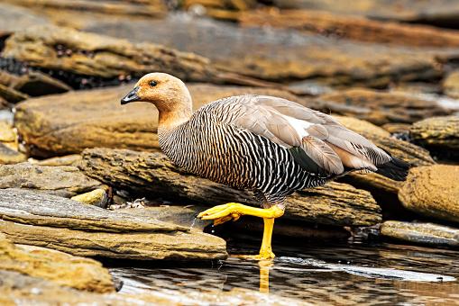 Falkland Islands「Upland Goose (Chloephaga picta) standing in shallow water along the rocky shoreline」:スマホ壁紙(1)