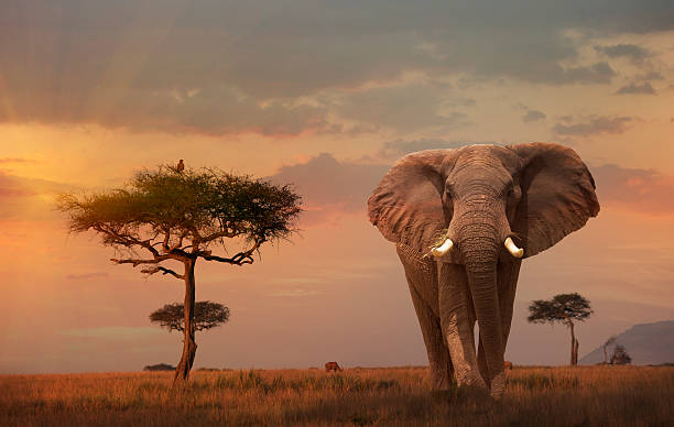 Giant Male  elephant (Loxodonta africana) at sunse:スマホ壁紙(壁紙.com)