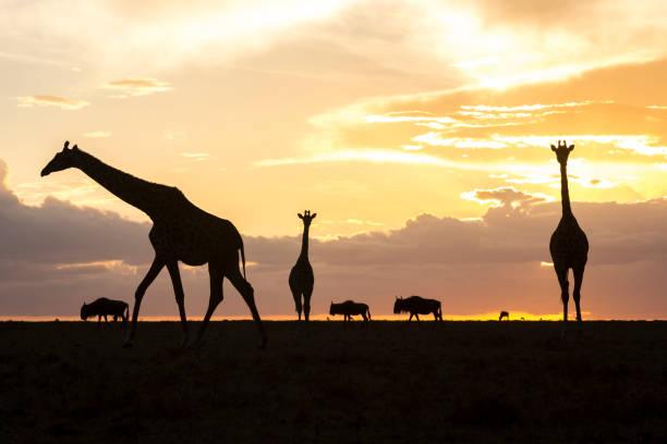 Giraffes and wildebeests silhouetted at sunset, Masai Mara National Reserve, Kenya:スマホ壁紙(壁紙.com)