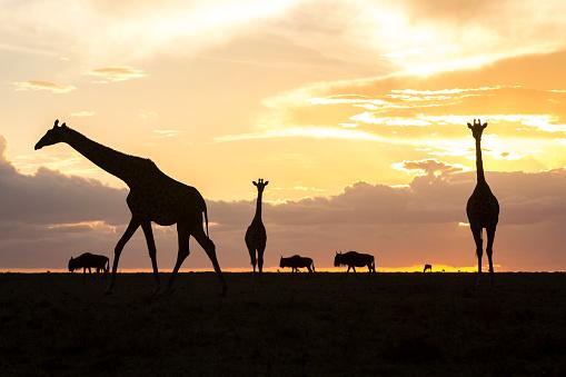 Giraffe「Giraffes and wildebeests silhouetted at sunset, Masai Mara National Reserve, Kenya」:スマホ壁紙(4)