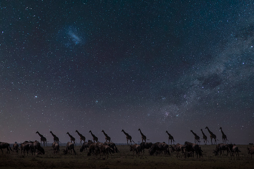 Masai Mara National Reserve「Giraffes and wildebeests in the savannah at night under starry sky」:スマホ壁紙(14)