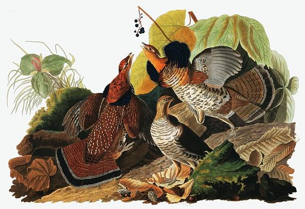 Beak「Ruffed Grouse」:写真・画像(5)[壁紙.com]