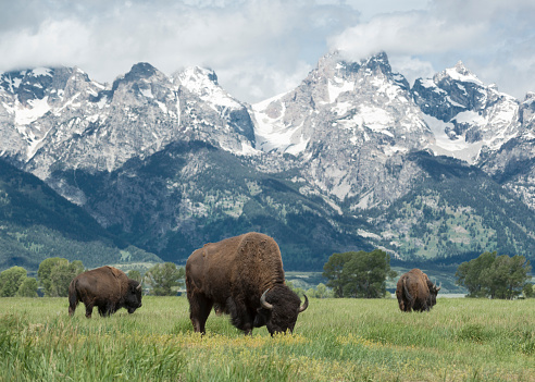 Grand Teton「American Buffalo」:スマホ壁紙(6)