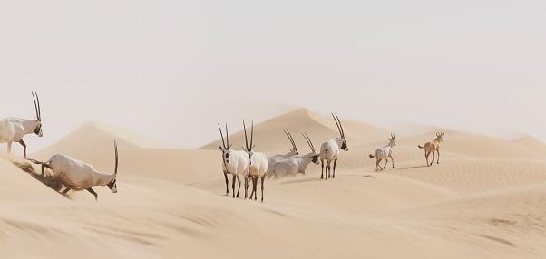 Antelope「Heard of Oryx crossing desert, Sharjah, UAE」:スマホ壁紙(11)