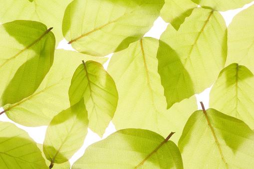 See Through「New spring beech leaves filling frame.」:スマホ壁紙(10)