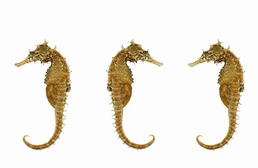 Sea Horse「Three dried seahorses on white background」:スマホ壁紙(11)