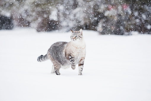 猫「USA, Colorado, Grey cat walking in snow」:スマホ壁紙(1)