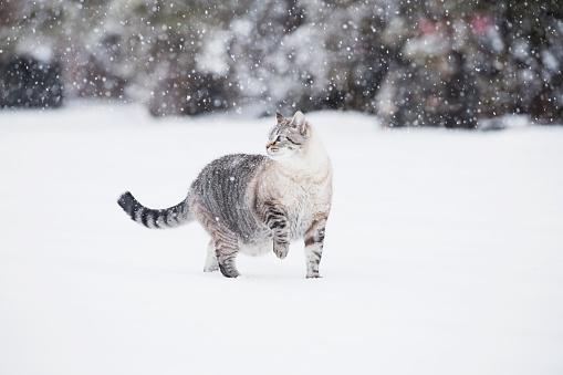 猫「USA, Colorado, Grey cat walking in snow」:スマホ壁紙(0)