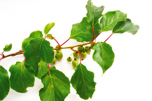 Kiwi「Kiwi fruits on twig, close-up」:スマホ壁紙(18)