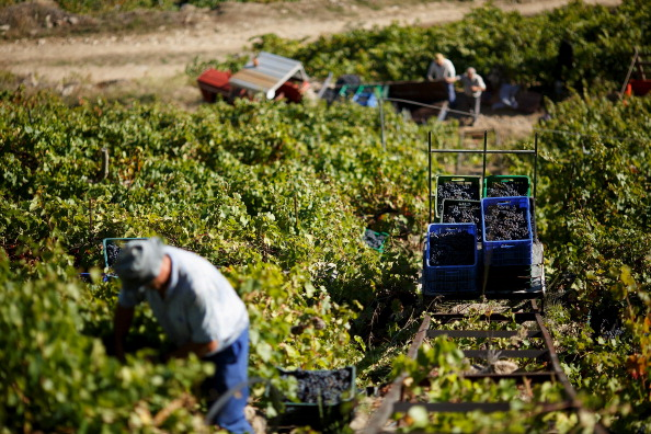 Homemade「The Grape Harvest Is Gathered In On The Slopes Surrounding The Sil River」:写真・画像(12)[壁紙.com]