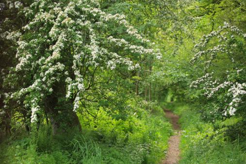 Hawthorn「Spring May blossom (Hawthorn) beside woodland path」:スマホ壁紙(6)