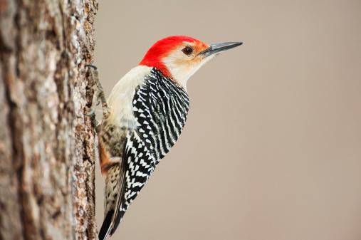 Beak「Red-bellied woodpecker up close」:スマホ壁紙(16)