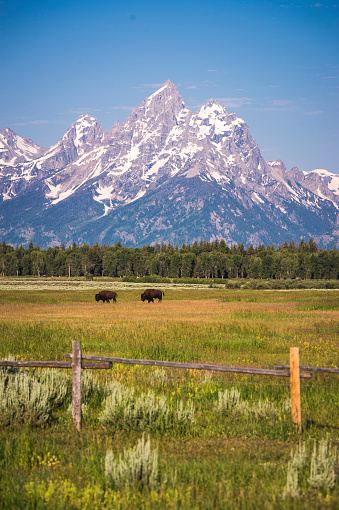 Grand Teton「Bison wander in field with Grand Teton in background, Grand Teton National Park, Wyoming, USA」:スマホ壁紙(13)