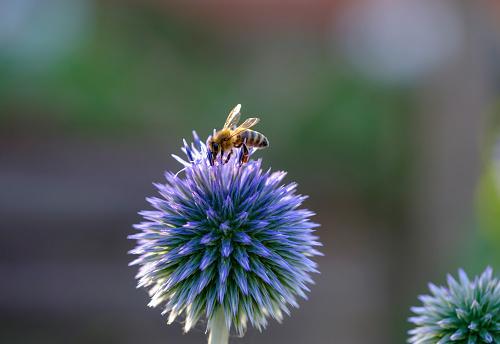 Animal Themes「Honey bee, Apis mellifera, on southern globethistle, Echinops ritro」:スマホ壁紙(7)
