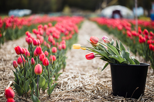 Choosing「Picking tulips」:スマホ壁紙(15)