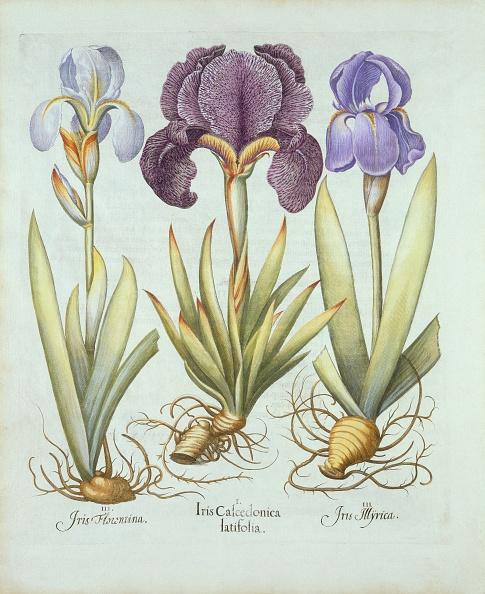 Variation「Three Varieties Of Rhizomatous Beardless Irises」:写真・画像(12)[壁紙.com]