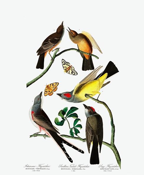 Variation「Three Varieties Of Flycatcher」:写真・画像(14)[壁紙.com]