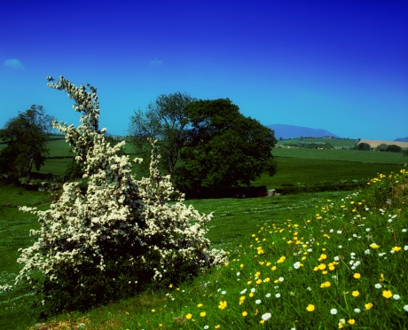 Hawthorn「Hawthorn blossom and wildflowers, Co Louth, Ireland」:スマホ壁紙(11)