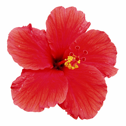 hibiscus「Red hibiscus flower isolated on white」:スマホ壁紙(13)