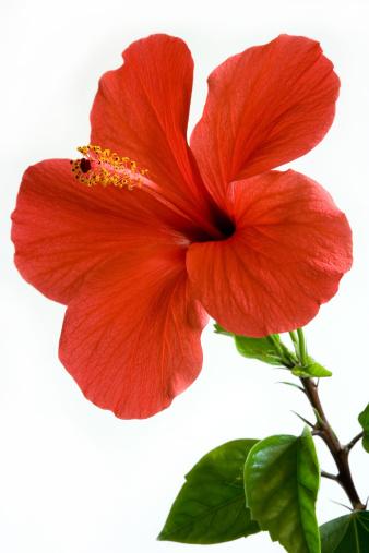hibiscus「Red hibiscus」:スマホ壁紙(17)