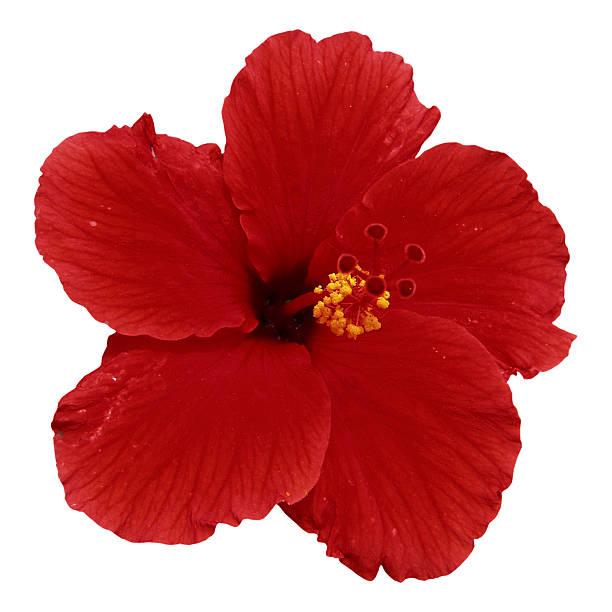 Red hibiscus:スマホ壁紙(壁紙.com)