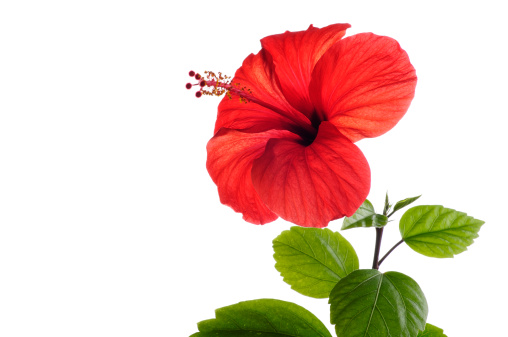 hibiscus「Red Hibiscus」:スマホ壁紙(7)