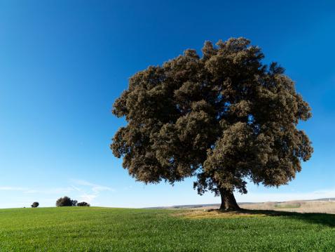 Single Tree「Centenary Oak 39 megapixels」:スマホ壁紙(16)