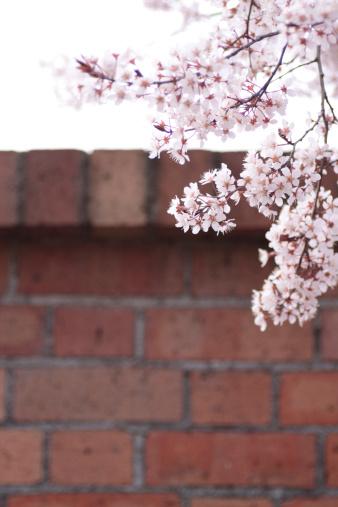 Apricot Tree「Apricot blossoms」:スマホ壁紙(18)