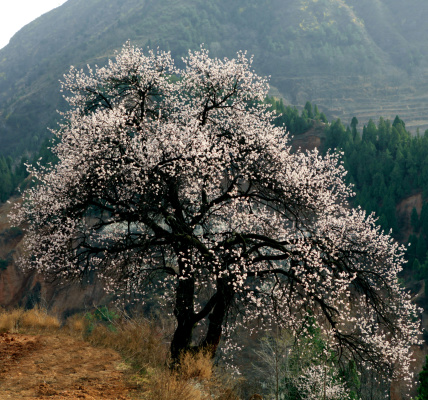 Apricot Tree「Apricot blossom」:スマホ壁紙(19)