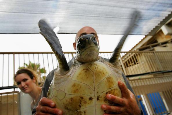 Green Turtle「Israeli Ecologists Struggle To Protect Mediterranean?s Turtles」:写真・画像(5)[壁紙.com]