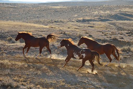 Animals In The Wild「USA, Wyoming, three wild horses running in badlands」:スマホ壁紙(10)
