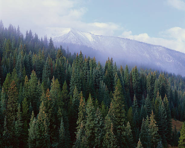 Spruce Forest and Snowy Mountains:スマホ壁紙(壁紙.com)
