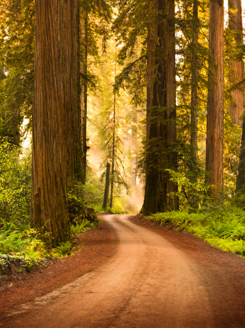 Humboldt Redwoods State Park「Dirt road through Redwood trees in the forest」:スマホ壁紙(10)