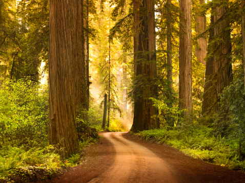 Humboldt Redwoods State Park「Dirt road through Redwood trees in the forest」:スマホ壁紙(13)