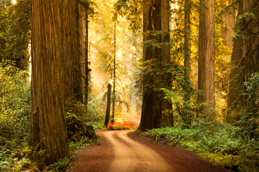 Humboldt Redwoods State Park「Dirt road through Redwood trees in the forest」:スマホ壁紙(12)