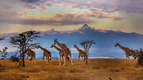 Animal「Herd of Reticulated giraffes in front of Mount Kenya」:スマホ壁紙(9)