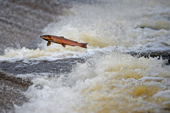 Jumping「Salmon Tagged As They Swim Upstream From The Atlantic」:写真・画像(17)[壁紙.com]