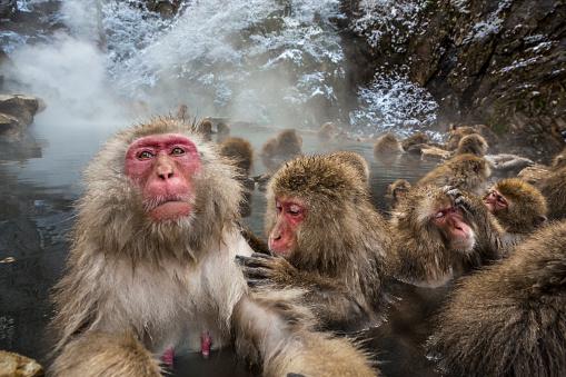 Grooming - Animal Behavior「Wild monkeys bathing in Jigokudani Monkey Park」:スマホ壁紙(13)