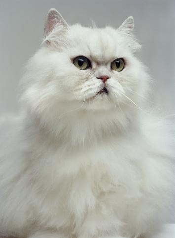 Purebred Cat「White Persian cat, close-up (Digital Enhancement)」:スマホ壁紙(4)