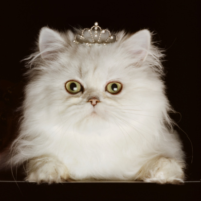 Tiara「White Persian cat wearing tiara, close-up, front view, portrait」:スマホ壁紙(11)