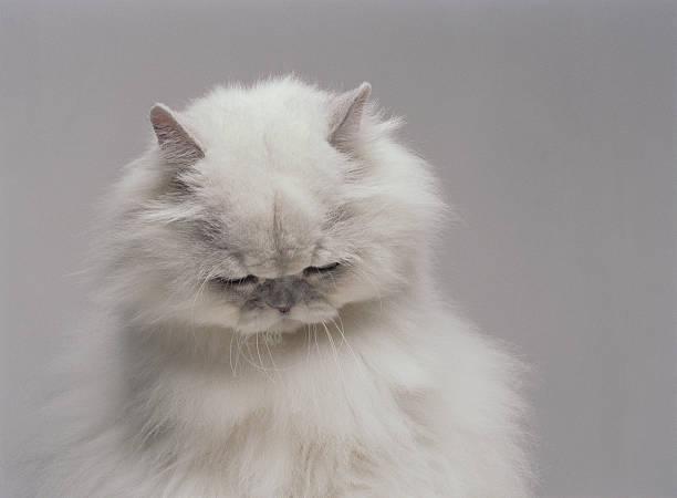 White Persian cat with head bowed (Digital Enhancement):スマホ壁紙(壁紙.com)