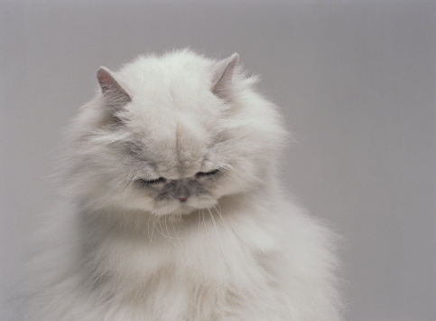 Purebred Cat「White Persian cat with head bowed (Digital Enhancement)」:スマホ壁紙(7)
